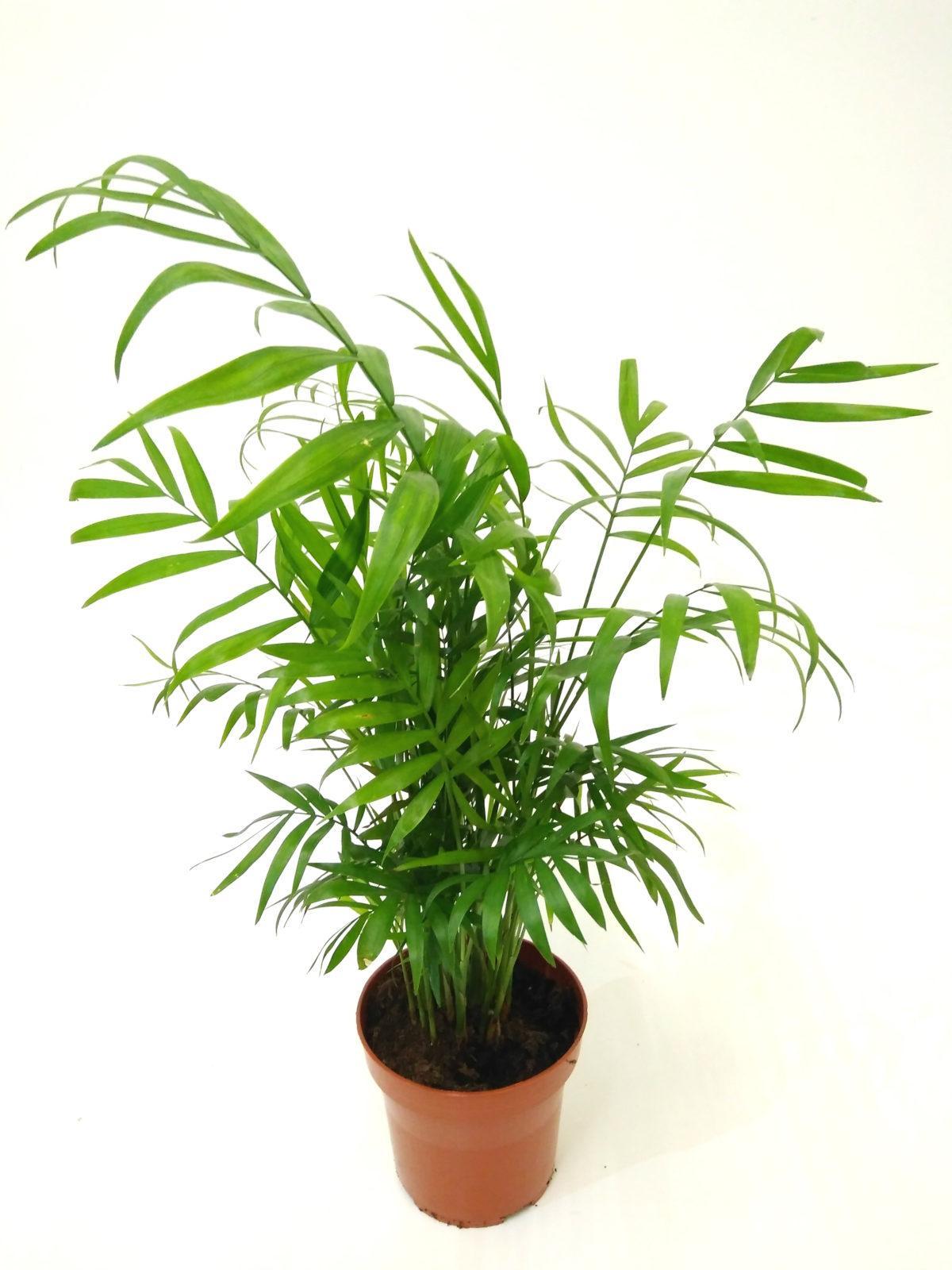 Бамбуковая пальма уход в домашних условиях фото 121