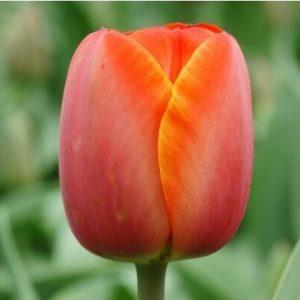 Тюльпан Ad Rem