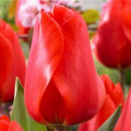 тюльпан лалибела