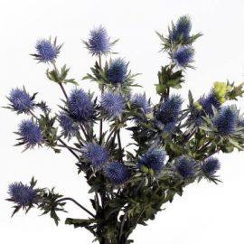 купить экзотические цветы эрингиум минск
