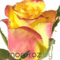 Купить Розы Кнокс knox