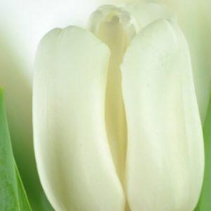 Тюльпан Update (Апдейт)