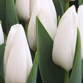 белый тюльпан хакун hakuun