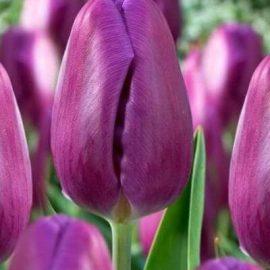 фиолетовый тюльпан парпл флаг purple flag