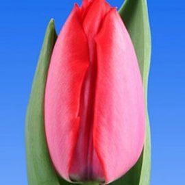 Тюльпан Trick (Трик)