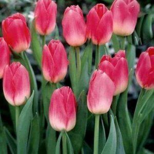 Тюльпан Dynasty (Династи)
