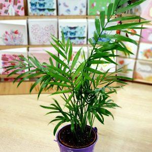 ХАМЕДОРЕЯ (бамбуковая пальма)