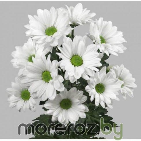 Хризантема кустовая белая