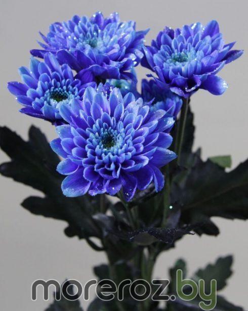 хризантема зембла синяя