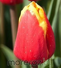 Купить тюльпан оптом в Минске на Moreroz.by